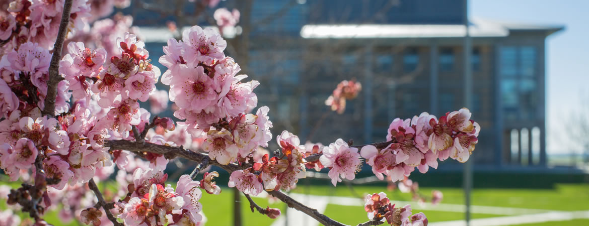 Campus photo of cherry blossoms in spring